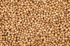 Graines de coriandre Image stock
