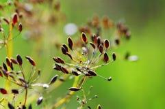graines de fenouil Image stock