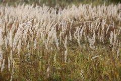 Graines de fond de dos d'automne d'herbe de carex image stock