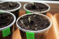 Graines de germination de tomate dans des récipients avec des labels closeup Photos stock