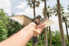Graines de la consommation du pigeon de la main d'un homme Photos libres de droits