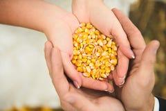 Graines de maïs dans des mains Image stock