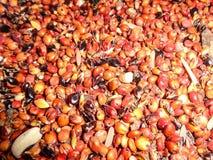 Graines de maïs de la Guinée Photo stock