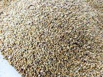 Graines de millet Image stock