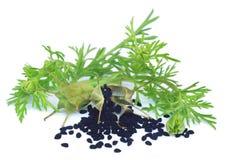 Graines de Nigella de cosse avec les feuilles vertes photos stock