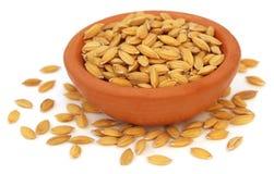 Graines de paddy sur le pot d'argile Image stock