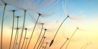 Graines de pissenlit dans le soleil égalisant photos libres de droits