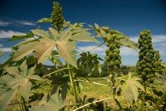 Graines de ricin Images stock