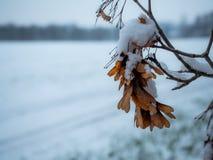 Graines de sycomore attrapées dans la neige tôt d'hiver photographie stock