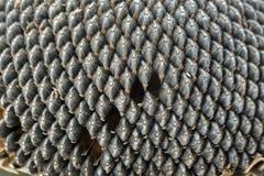 Graines de tournesol Photo libre de droits