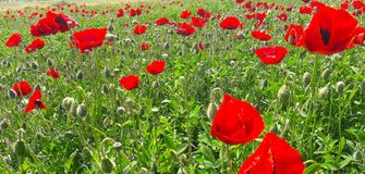 Graines de tournesol sèches Image stock
