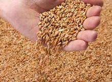 Graines en baisse de blé photo libre de droits