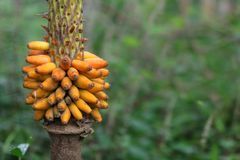 Graines et fleurs jaunes d'usine konjac dans le jardin Photo libre de droits