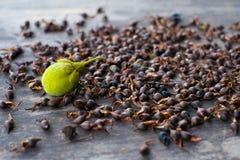 Graines fraîches d'Agarwood Image libre de droits