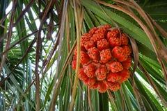 Graines fraîches oranges mûres d'arbre d'usine de pin de pandanus ou de vis de mer Photos libres de droits