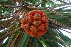 Graines fraîches oranges mûres d'arbre d'usine de pin de pandanus ou de vis de mer Images stock