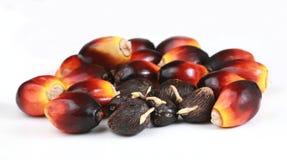 Graines germées de graines et de palmier à huile Photo stock