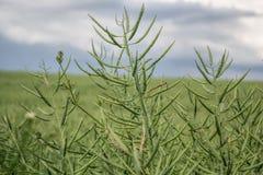 Graines mûres de viol Champ du colza oléagineux vert de maturité d'isolement sur un ciel bleu nuageux dans l'heure d'été et le x2 photographie stock