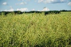 Graines non mûres de viol Champ de colza oléagineux vert de maturité sur un ciel bleu nuageux dans l'heure d'été (napus de brassi photo libre de droits