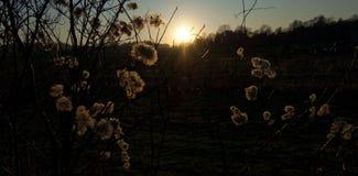 Graines pelucheuses contre le coucher de soleil Images libres de droits