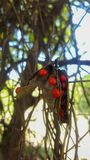 Graines rouges lumineuses des pois d'amour Photos stock