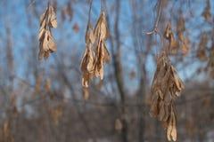 Graines sèches de l'arbre de cendre Photo libre de droits