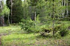 Graines s'élevant dans les plantes vertes en Rocky Mountain National Park image stock