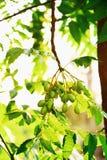 Graines sur l'arbre images libres de droits
