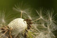 Graines sur la fleur de floraison Image libre de droits