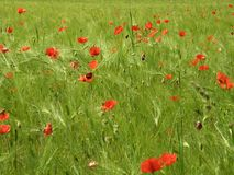 grainfield罂粟种子 免版税库存图片
