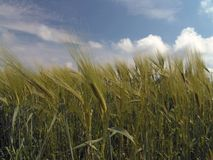 Grainfield. Barley, summer Royalty Free Stock Image