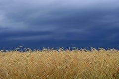 grainfield Royaltyfri Fotografi