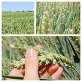 Grainfield Stock Photography