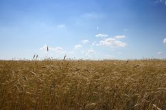 Grainfield Royalty Free Stock Image