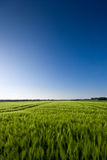 Grainfield and a blue Sky. The picture shows a field of grain (barley) and a blue sky royalty free stock photo