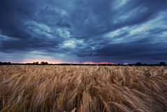 Grainfield and cloudy sky Royalty Free Stock Image