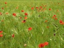 Grainfield con il seme di papavero immagini stock libere da diritti