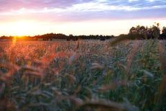 Grainfield an der goldenen Stunde Unterlassung des Feldes von einem flachen Winkel stockbilder