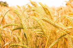 Grainfield. Grain field of barley is nearly ready for harvest royalty free stock photos