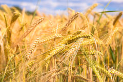 Grainfield Stock Images
