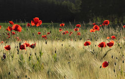 Grainfield with red poppies, back lighted. Grainfield with red poppy flowers, back lighting Stock Photography