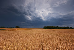 Grainfield and storm. The picture shows a grainfield and a gathering Storm stock image