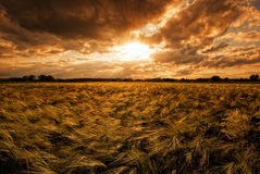 Grainfield during sunset. The picture shows a cloudy sky and a grainfield during sunset Stock Photos