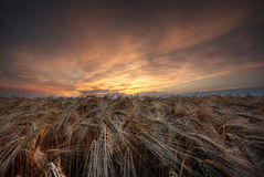 Grainfield during sunset. The picture shows a cloudy sky and a grainfield during sunset royalty free stock photos