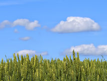 Grainfield under blue sky Stock Image