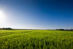 Grainfield y un cielo azul Imagen de archivo libre de regalías