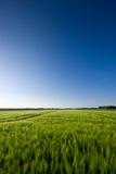 Grainfield y un cielo azul Foto de archivo libre de regalías