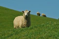 Graing Schafe Lizenzfreies Stockbild