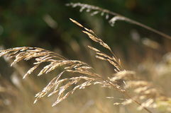 Grains. Close up shot of grains moved by wind with glow of the sun above stock photo