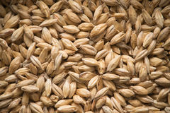 Grains. Malted barley for the use of brewing beer Royalty Free Stock Photography
